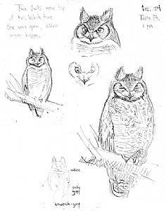 sean murtha work detail great horned owl sketch Dove Pencil Drawings great horned owl sketch by sean murtha pencil 10 x 8