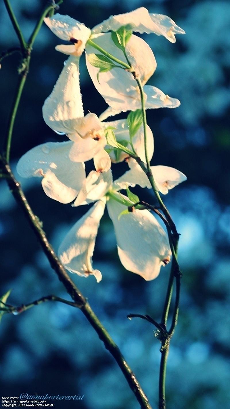 Anna Porter Work Zoom White Flowering Dogwood Branch